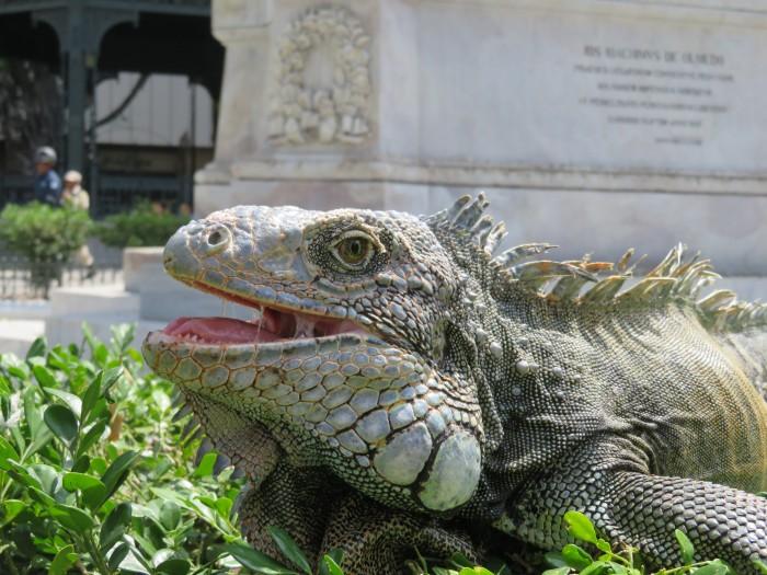 Iguana in Guayaquil, Ecuador